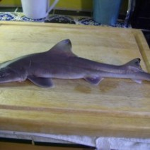 Maine Cape Shark